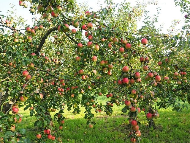 How to Train a Free-Standing Apple Tree to get the Best Fruits