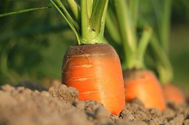 How to grow carrots uk