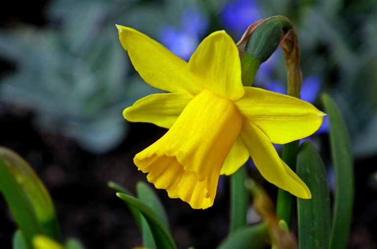 What to do with Daffodil bulbs after Flowering | Daffodil Care