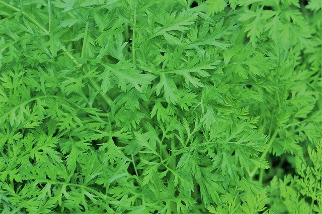 Can You Grow Carrots From Carrot Tops?   Here is How!