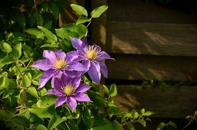 What to do With Clematis After Flowering
