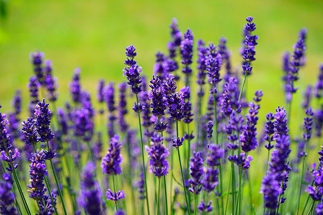 Why Is My Lavender Dying? | How to Revive Lavender