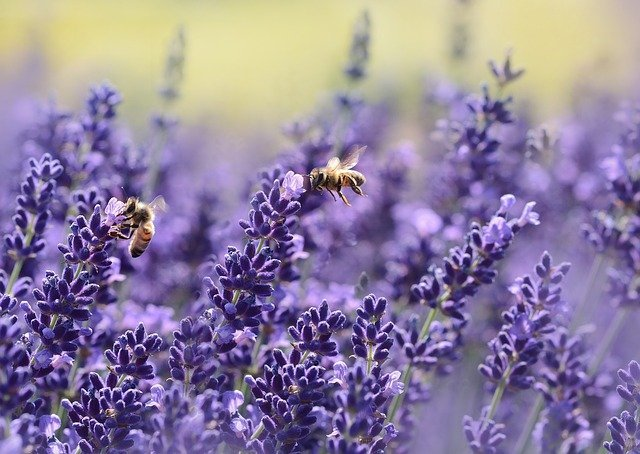 Is Lavender Good for Bees? | Why Do Bees Like Lavender?