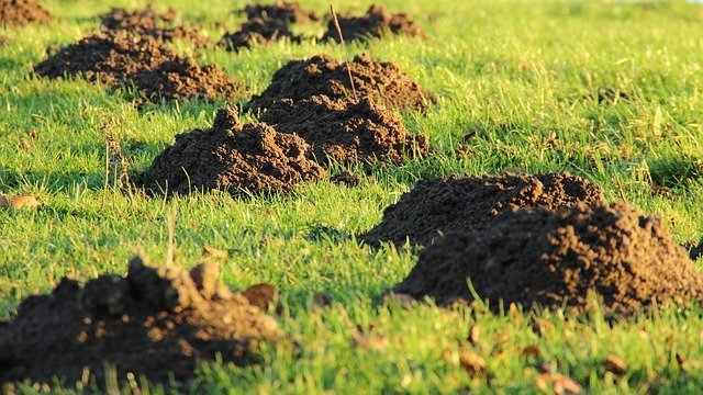 How to Stop Moles Digging up Your Lawn Safely and Easily