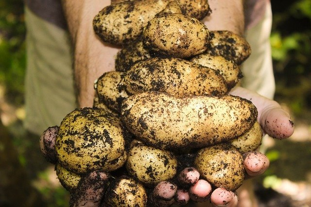 When to Harvest Potatoes UK | Earlies, Second Earlies and Maincrop