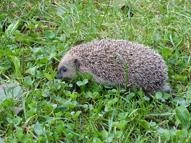 Do Hedgehogs Dig Holes in Lawns?
