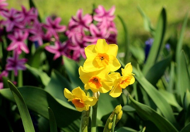 Should Daffodils Be Deadheaded after Flowering?