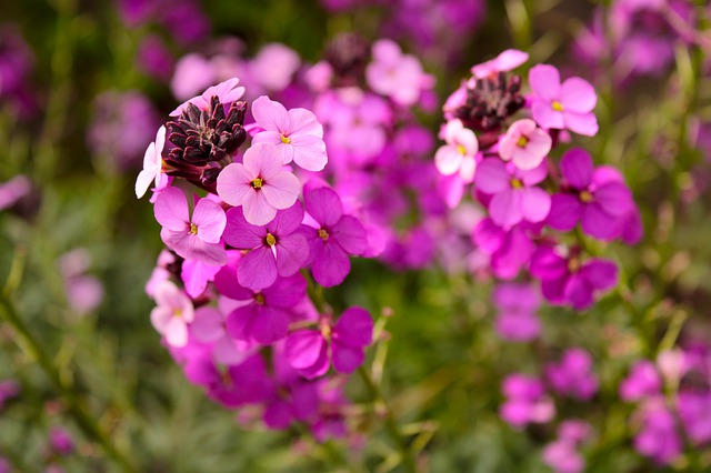 What To Do With Wallflowers When They Finish Flowering
