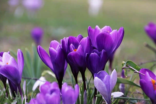 Can You Grow Saffron In The UK? | Here's How