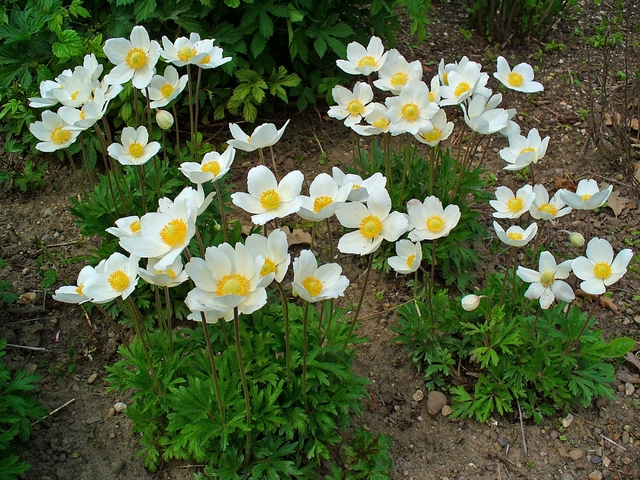 How To Get Rid Of Japanese Anemone | A Guide to Getting Rid of the Plant