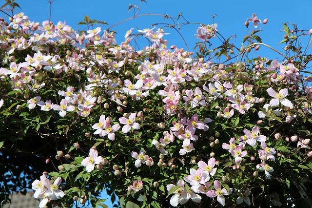 Pruning A Clematis Montana | Secrets Revealed