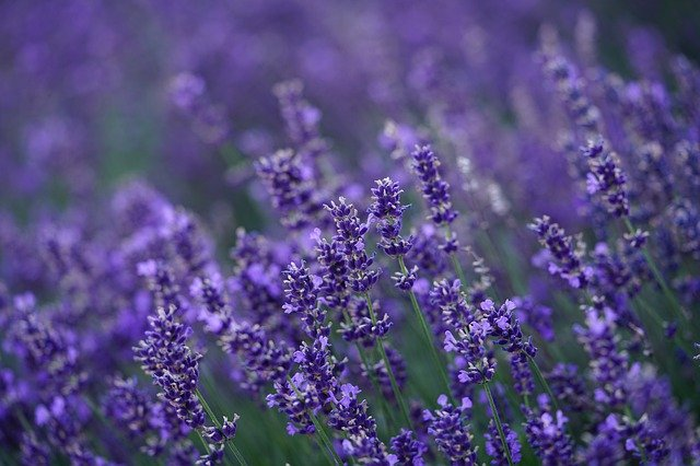 How To Take Lavender Cuttings and Propagate at Home