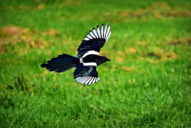How to Stop Magpies Digging up Garden | 7 Top Tips