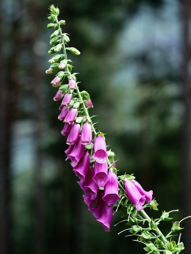 Are Foxgloves Poisonous to Touch?