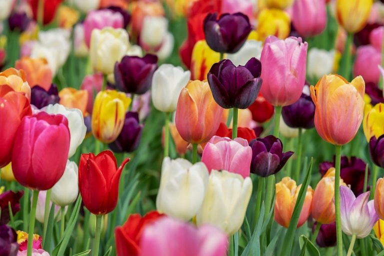 What to do with Tulip bulbs after Flowering | Tulip Care