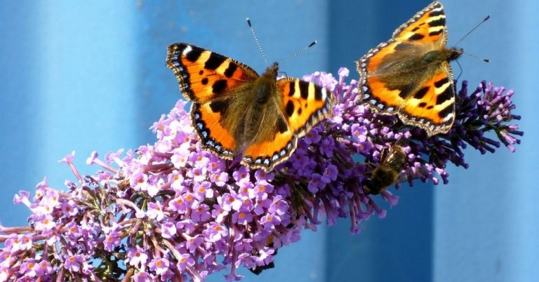 What to Do with Buddleia Butterfly Bushes After Flowering